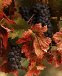 Fall Leaves and Grapes
